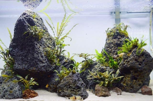 245: Aufsitzerpflanzen im Aquarium - Anubias, Bucephalandra, Farne & Co (Adrian Lichnowski) 7
