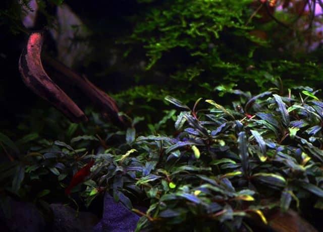 245: Aufsitzerpflanzen im Aquarium - Anubias, Bucephalandra, Farne & Co (Adrian Lichnowski) 8