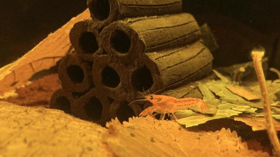 247: Zwergkrebse im Aquarium pflegen - Alle Fakten zu den Cambarellus und deren Pflege (Dennis Kraft) 6