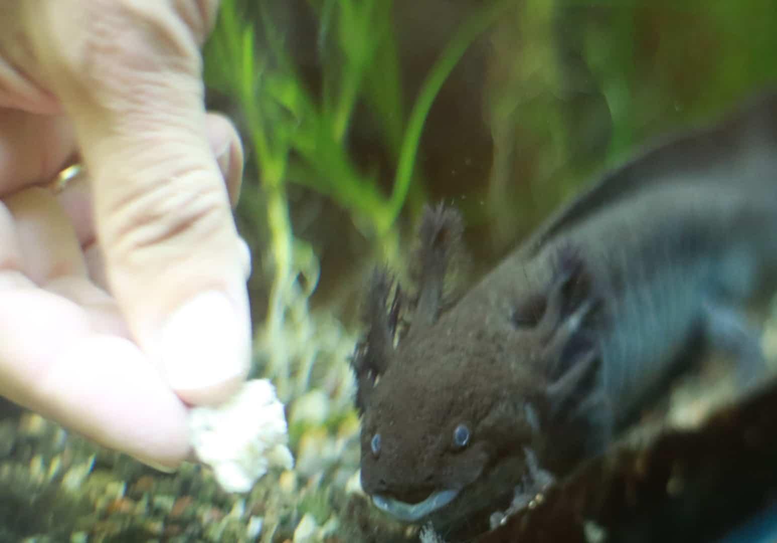 249: Die wundersamen Axolotl - Haltung und Zucht von Querzahnmolchen (Oliver Schirk) 6