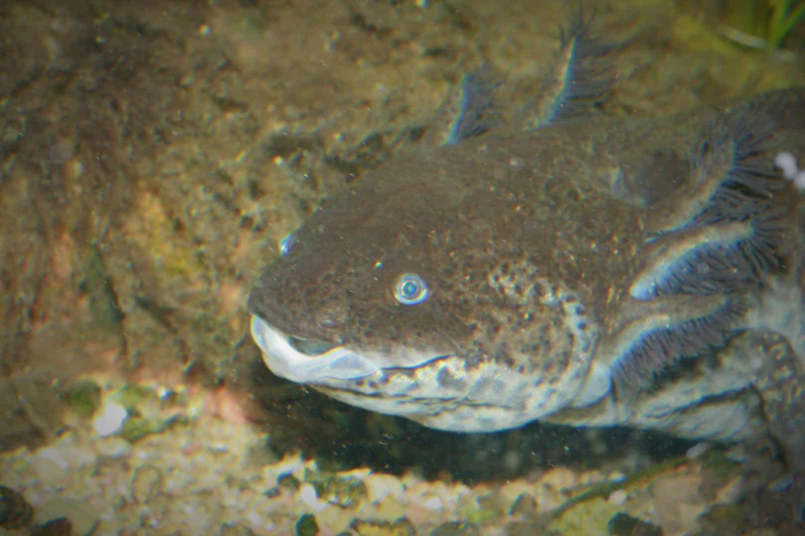 249: Die wundersamen Axolotl - Haltung und Zucht von Querzahnmolchen (Oliver Schirk) 10