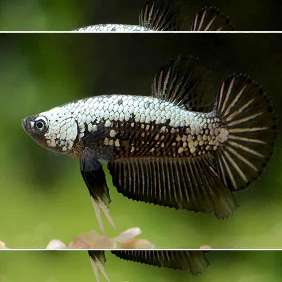 Kampffisch Black Samurai