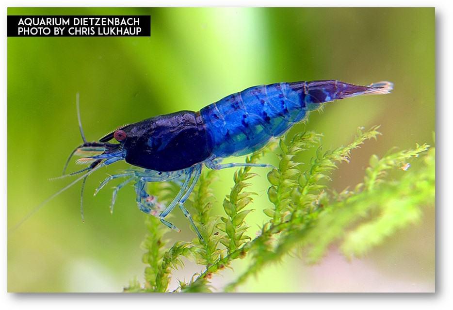 """Neocaridina davidi - """"Rili"""" Blue Zwerggarnele"""