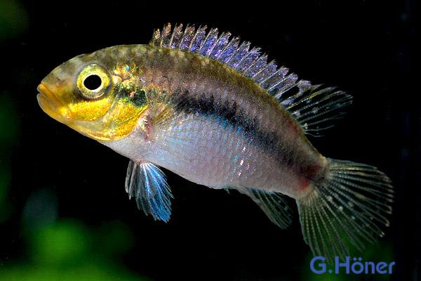 Pelvicachromis subocellatus - Rotvioletter Prachtbarsch 1