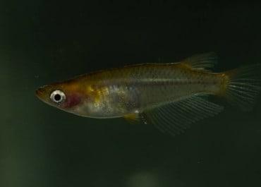 Fische für Miniteiche: Wie Medakas gedeihen