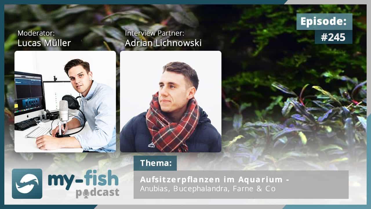 245: Aufsitzerpflanzen im Aquarium - Anubias, Bucephalandra, Farne & Co (Adrian Lichnowski) 1