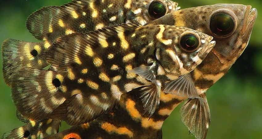 """Astronotus cf. crassipinnis """"Bumble Bee"""""""