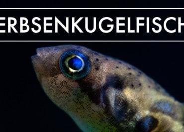 GarnelenTv: Der Erbsenkugelfisch -  Zwergkugelfisch