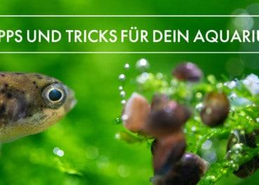 GarnelenTv: Kugelfisch Aquarium