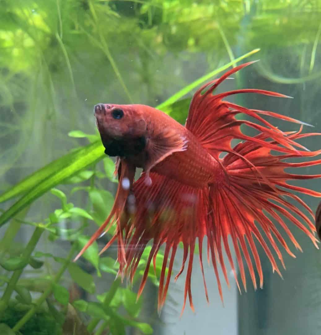 253: Tierportrait Betta splendens - Kampffische im Aquarium erfolgreich halten (Amel) 5