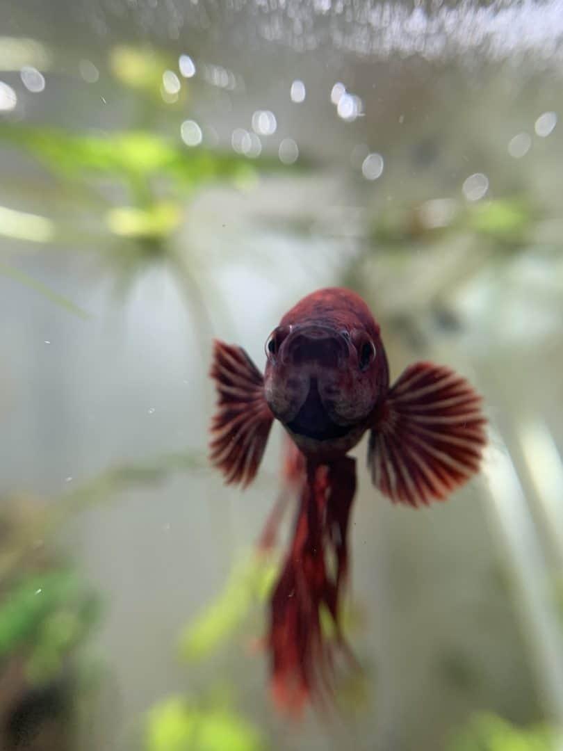 253: Tierportrait Betta splendens - Kampffische im Aquarium erfolgreich halten (Amel) 7