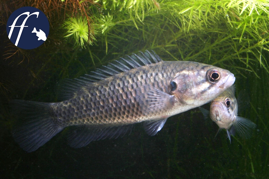 Franky Friday: Sandelia capensis - super selten 1