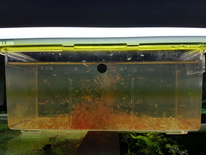 258: Artemia züchten - Urzeitkrebs und wertvolles Futter für Fische (Kai A. Quante) 2