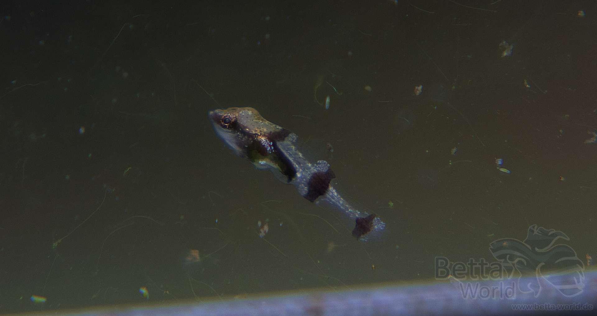 Indostomus paradoxus - Burma-Stichling 5
