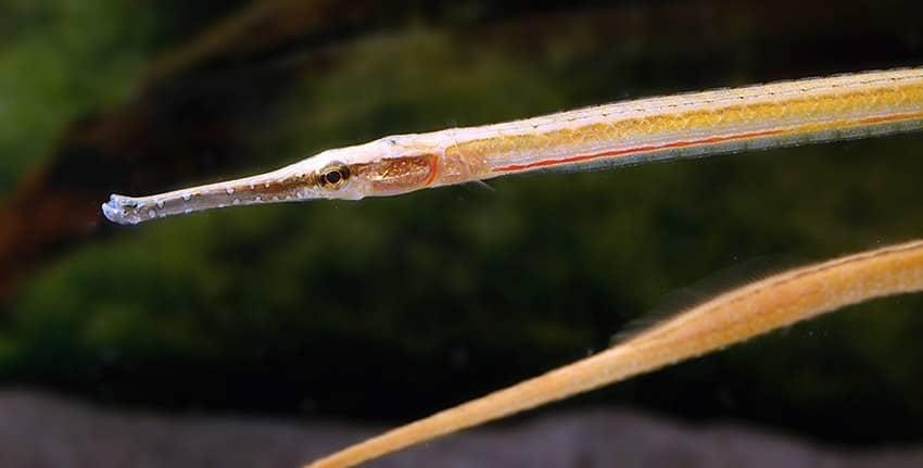 Microphis brachyurus