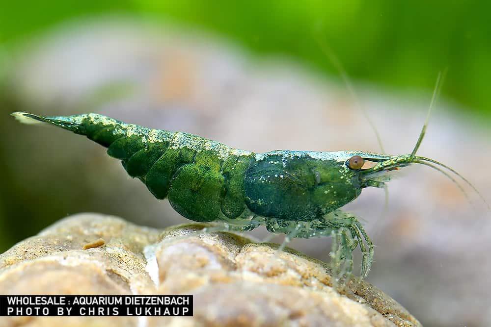 Neocaridina davidi - Green Jade Zwerggarnele