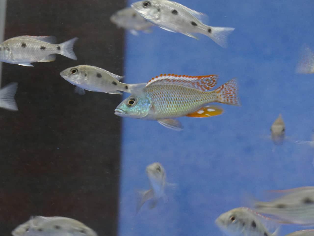 259: Buntbarsche aus dem Malawisee - Haltung und Zucht der bunten Fische im Aquarium (Tobias Buchheit) 2