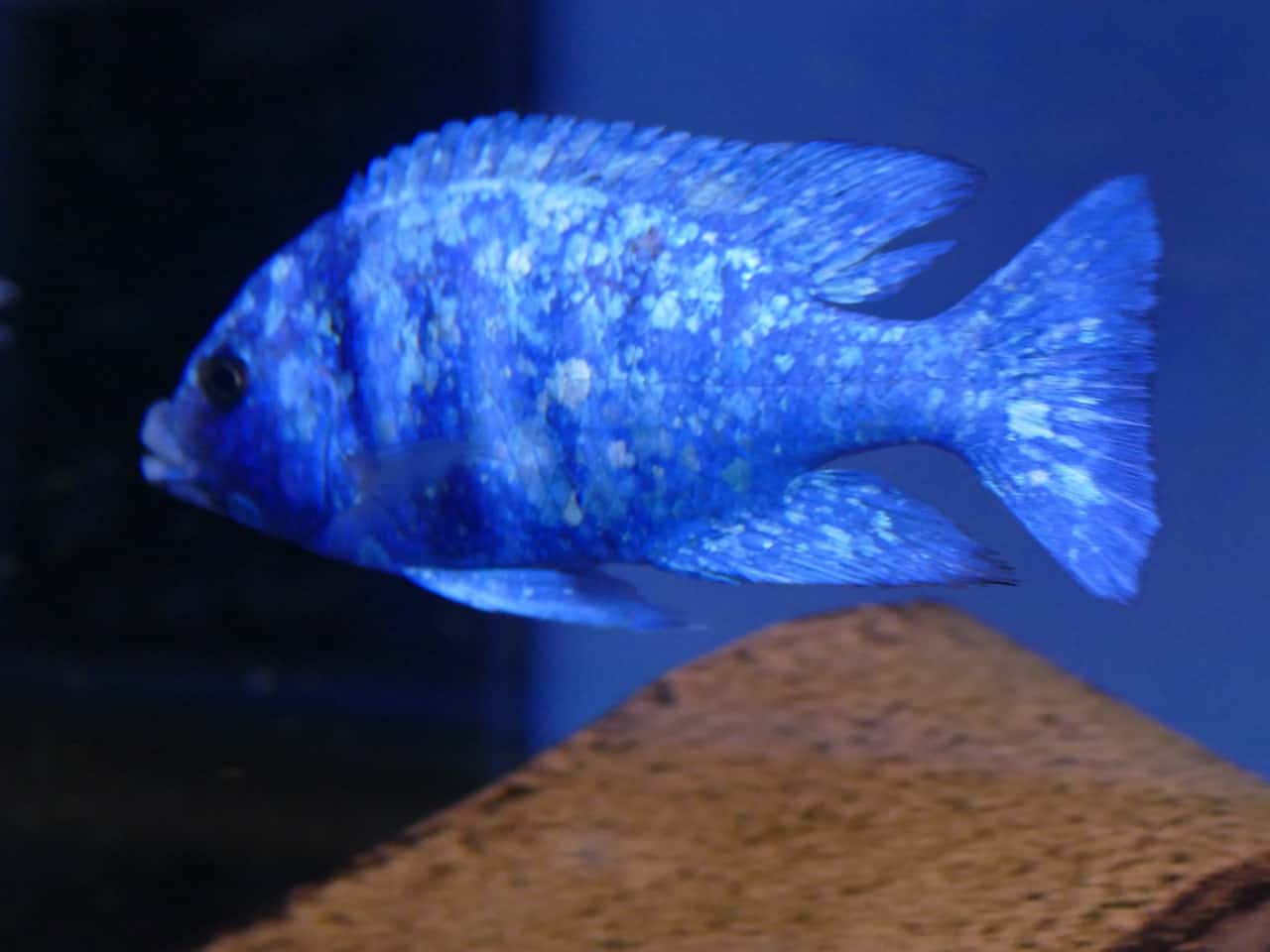 259: Buntbarsche aus dem Malawisee - Haltung und Zucht der bunten Fische im Aquarium (Tobias Buchheit) 3