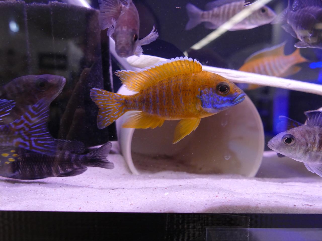 259: Buntbarsche aus dem Malawisee - Haltung und Zucht der bunten Fische im Aquarium (Tobias Buchheit) 4
