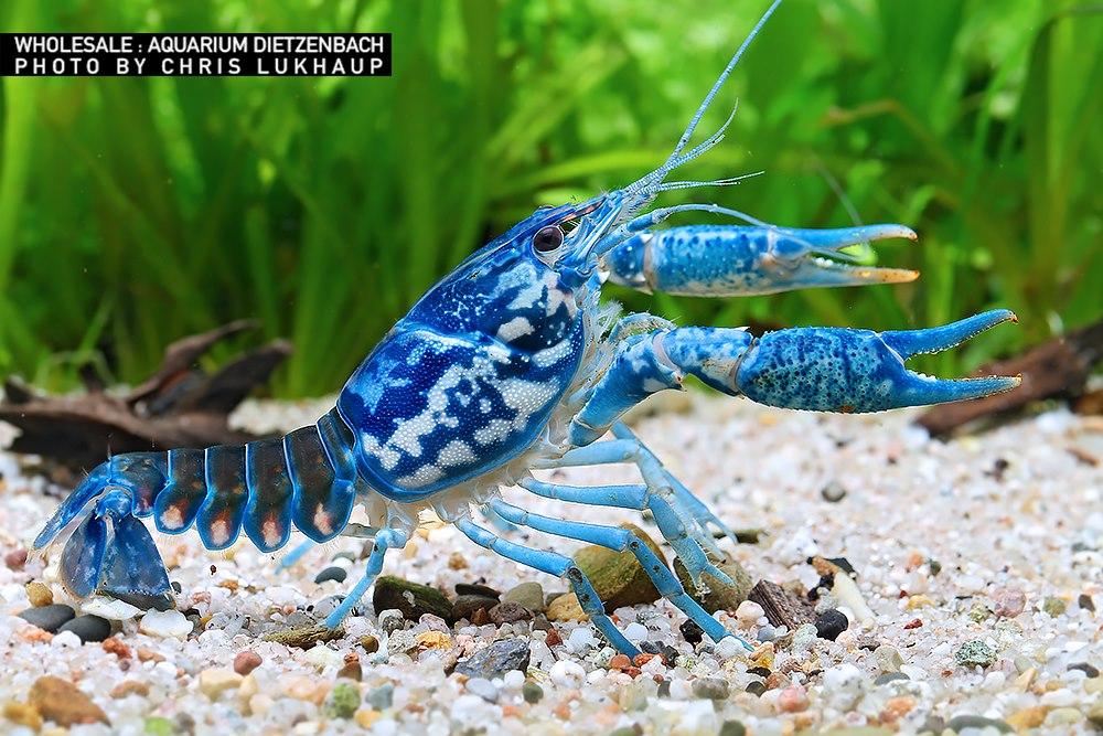 Procambarus braswelli