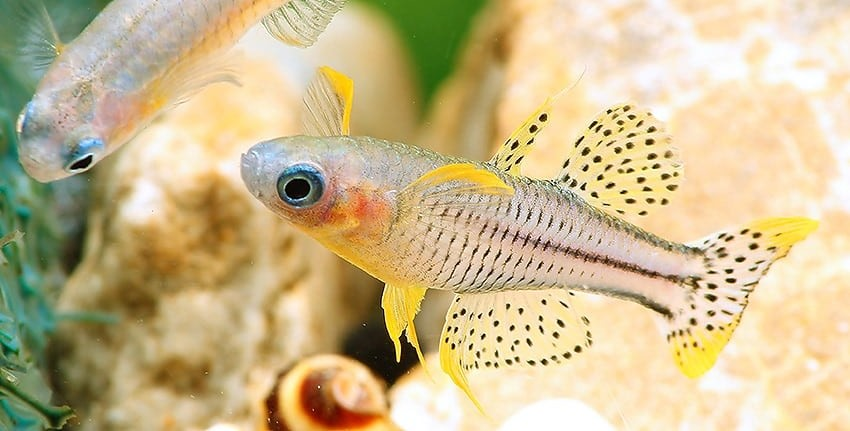 Pseudomugil gertrudae Aru