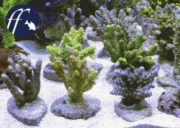 Franky Friday: Wie sinnvoll sind Nachzuchten für Meerwasseraquarien?