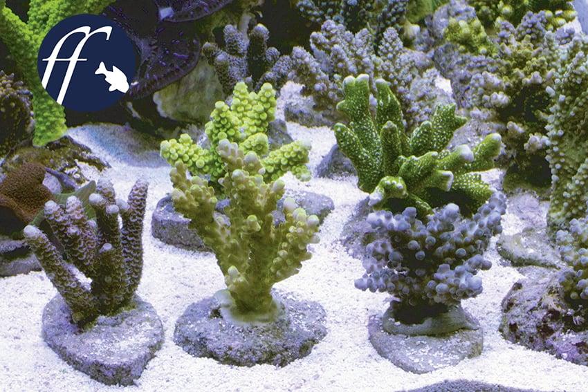 Franky Friday: Wie sinnvoll sind Nachzuchten für Meerwasseraquarien? 1