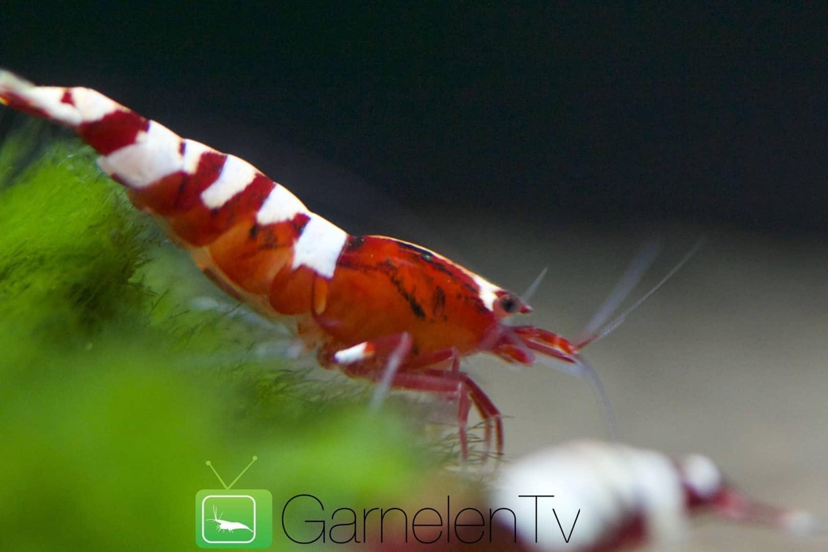 262: Garnelen im Aquarium halten - So machst du deinen Filter garnelensicher 7
