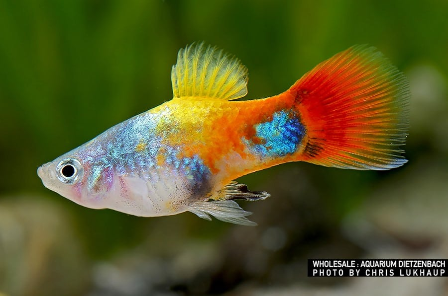 "Xiphophorus maculatus - Platy ""Blue Butterfly Micky Mouse"""