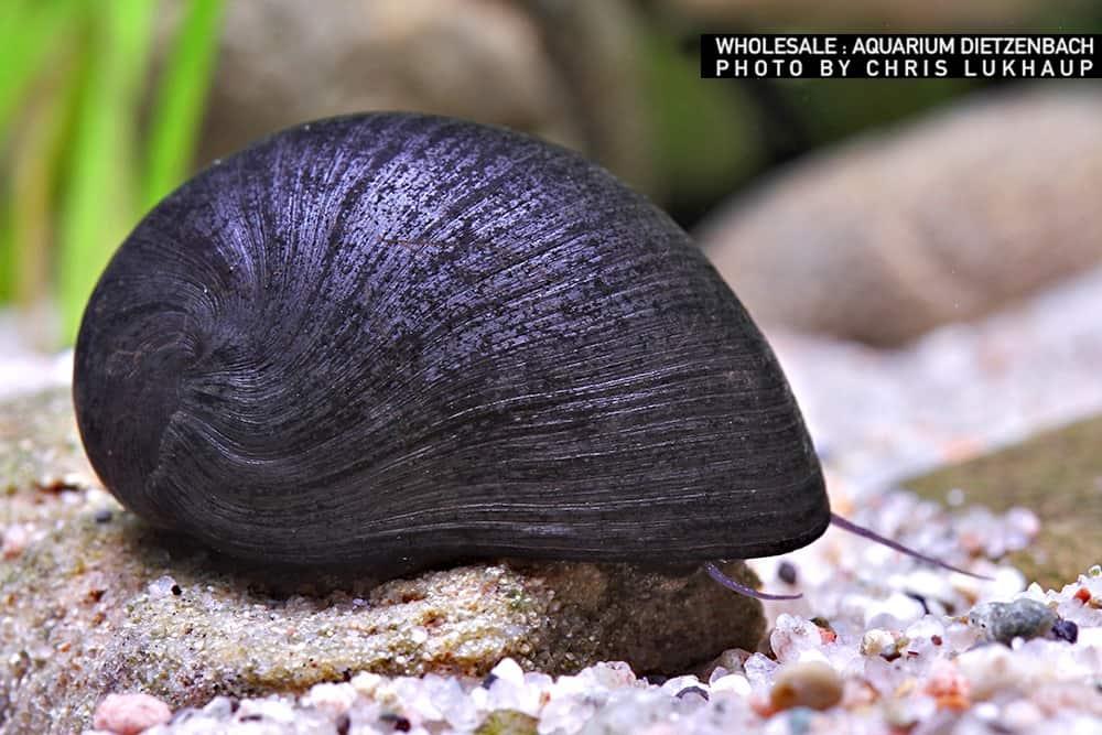 Neritina pulligera - Anthrazit-Napfschnecke (black)