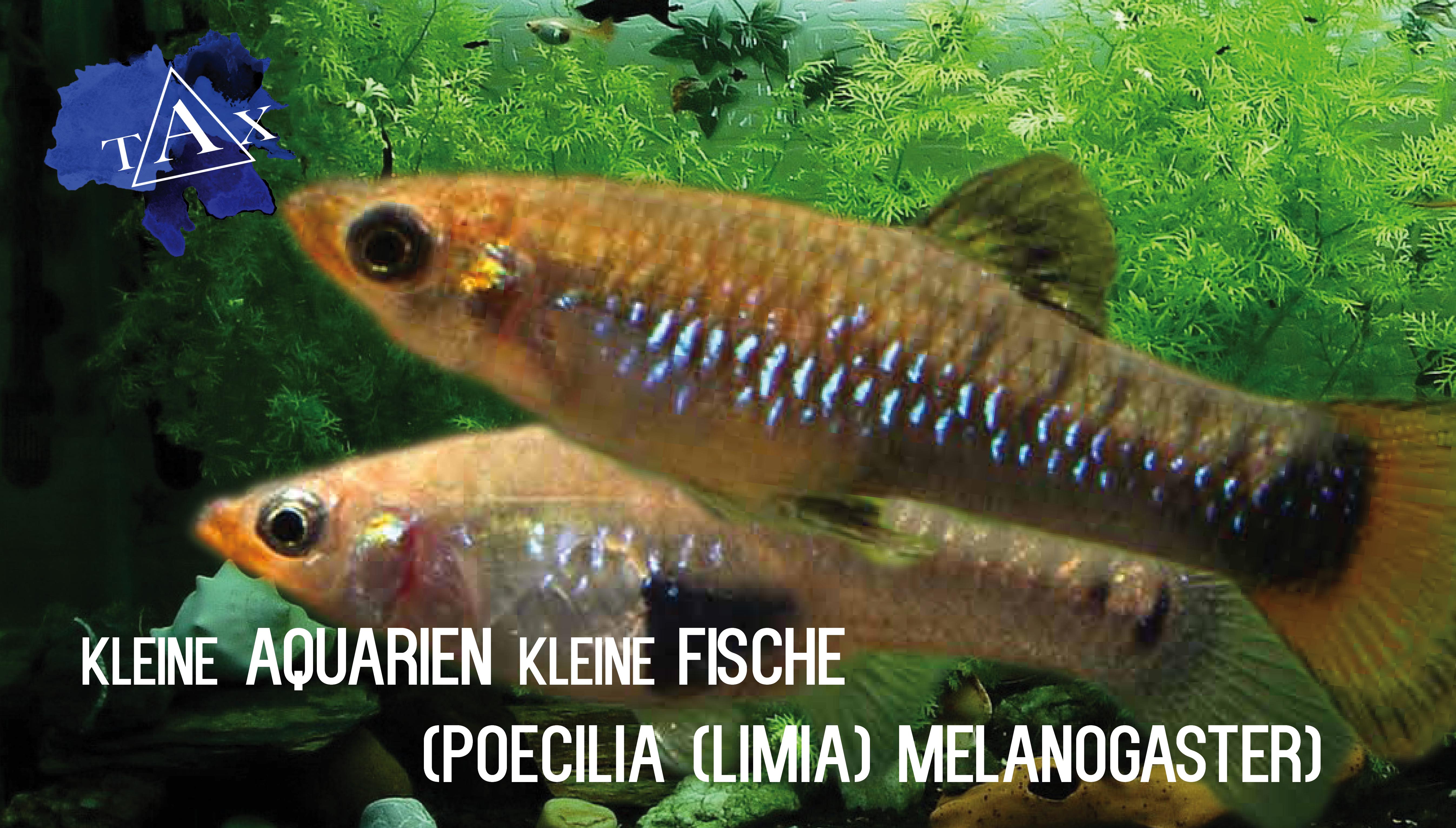 Poecilia melanogaster