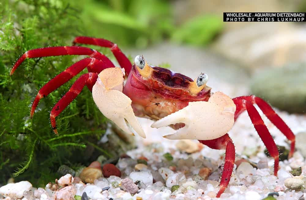 Geosesarma Krabbe