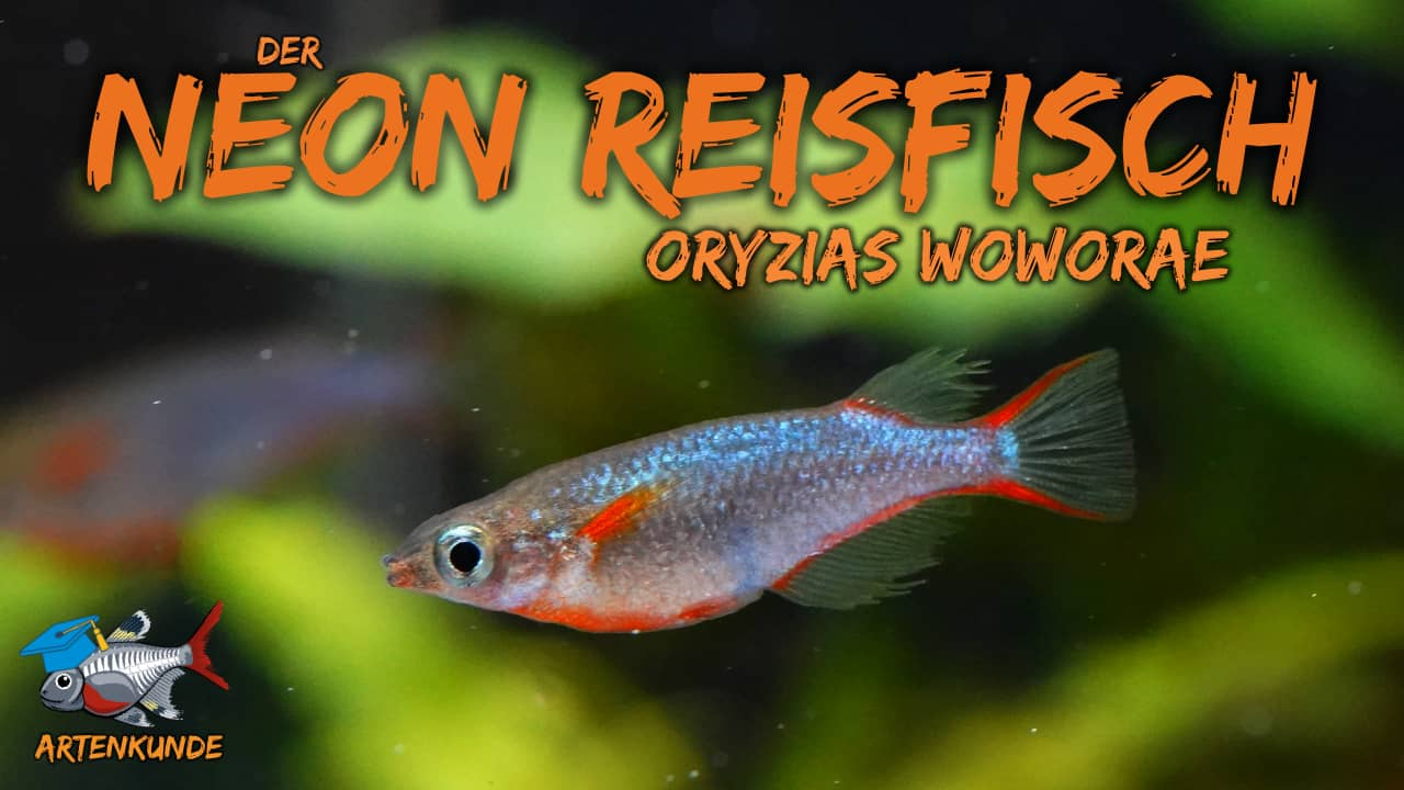 AQUaddicted! - Video Tipp: Der Neon-Reisfisch im Portrait