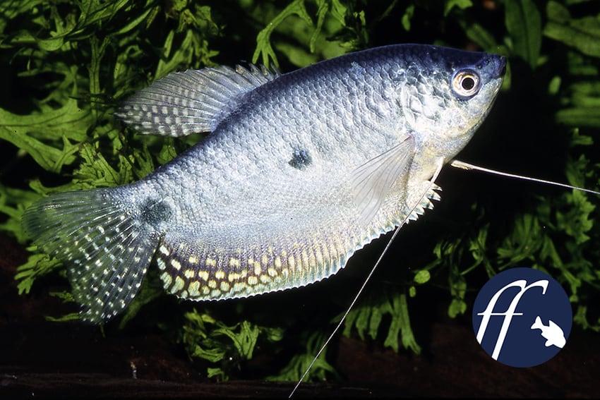 ff-aufmacher-trichogaster-trichopterus-blau