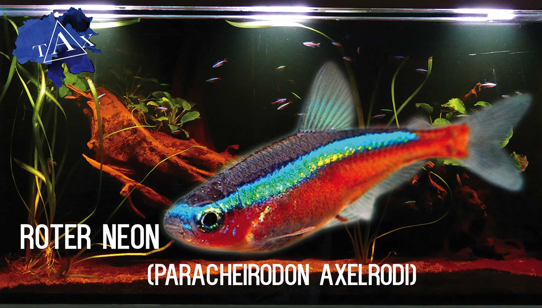 Tobis Aquaristikexzesse Video Tipp: Roter Neon