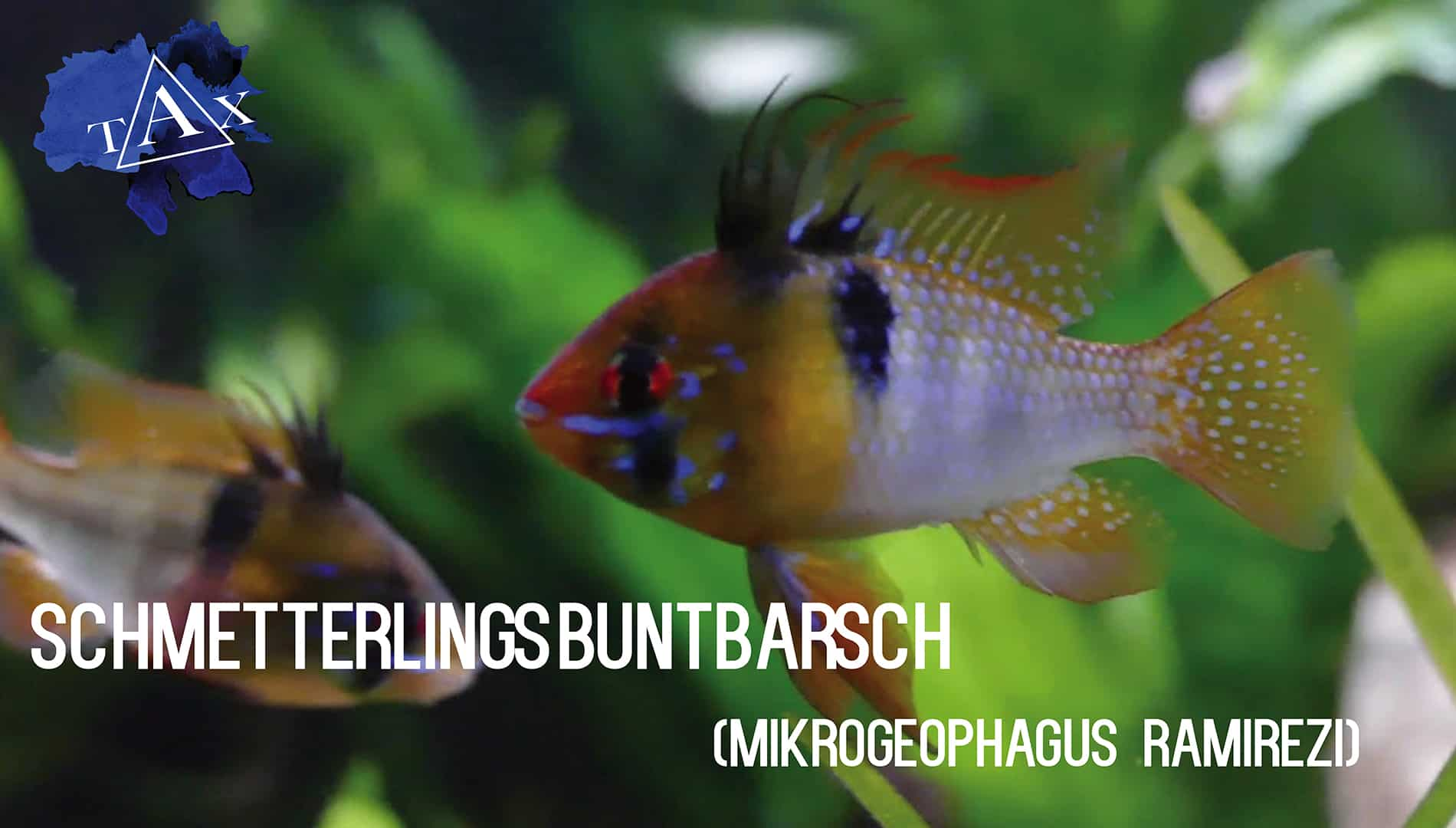 Tobis Aquaristikexzesse Video Tipp: Der Schmetterlingsbuntbarsch