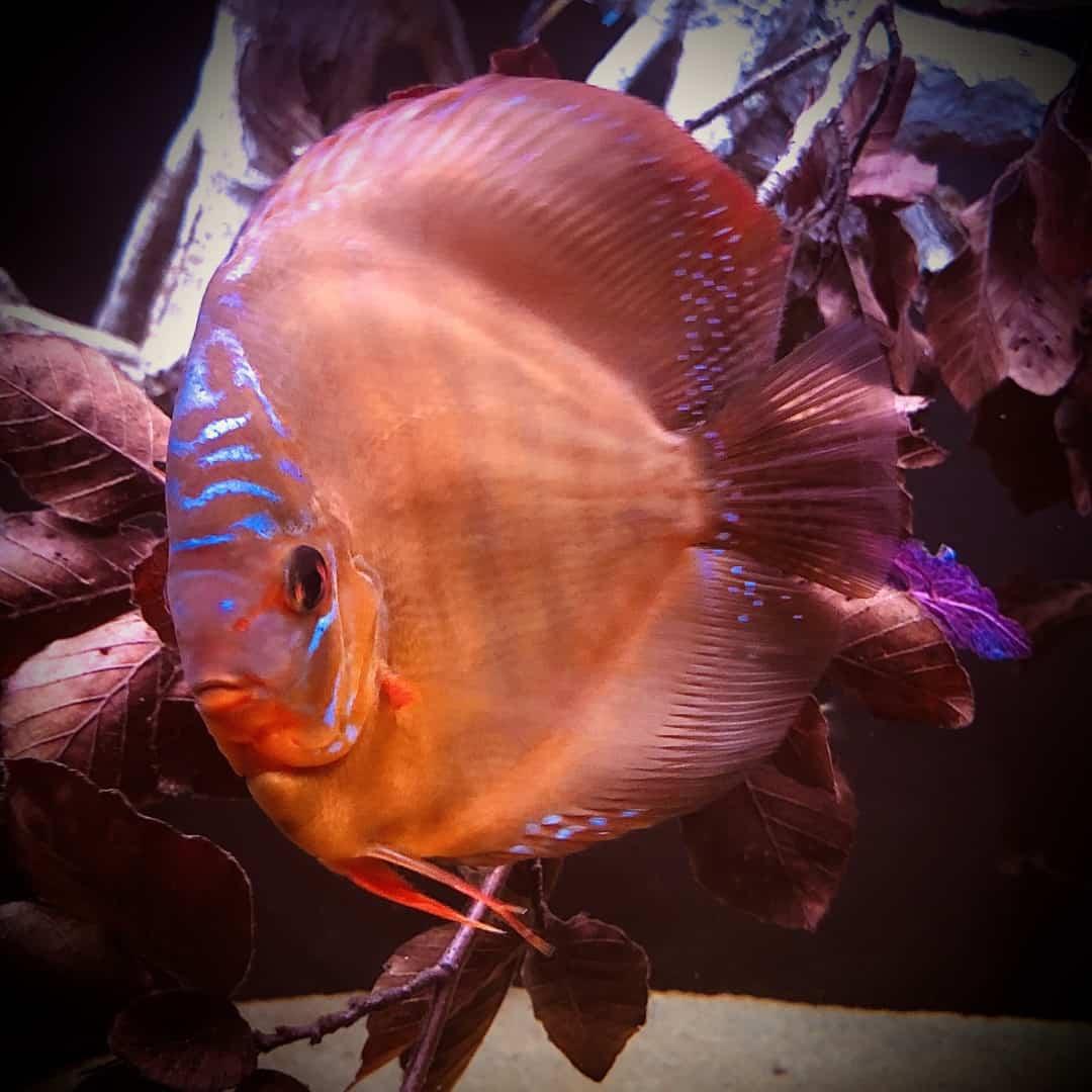 266: Die DiskusMummy und der König der Aquarienfische - Diskushaltung aus Leidenschaft (Isabelle Geil) 14