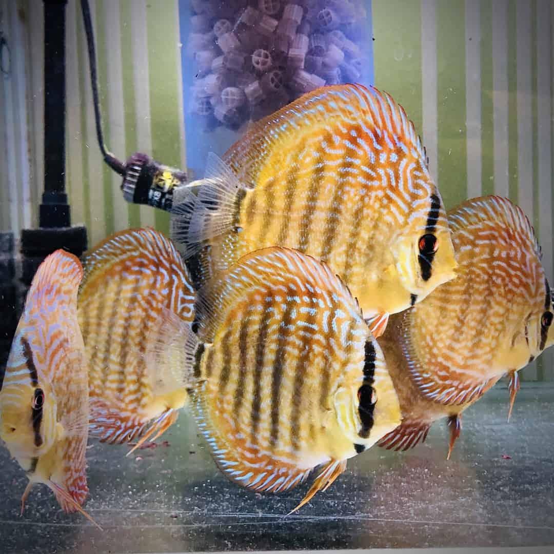 266: Die DiskusMummy und der König der Aquarienfische - Diskushaltung aus Leidenschaft (Isabelle Geil) 15