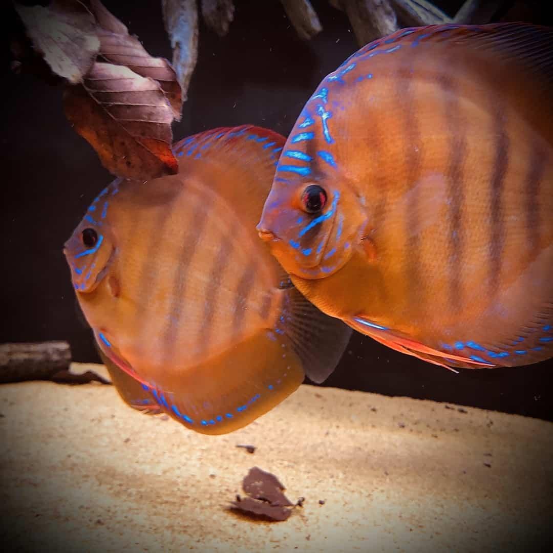 266: Die DiskusMummy und der König der Aquarienfische - Diskushaltung aus Leidenschaft (Isabelle Geil) 17