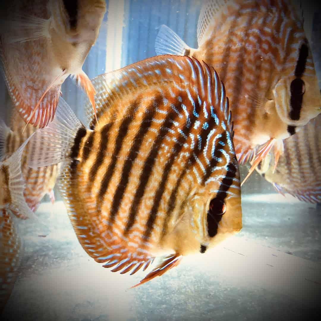 266: Die DiskusMummy und der König der Aquarienfische - Diskushaltung aus Leidenschaft (Isabelle Geil) 18