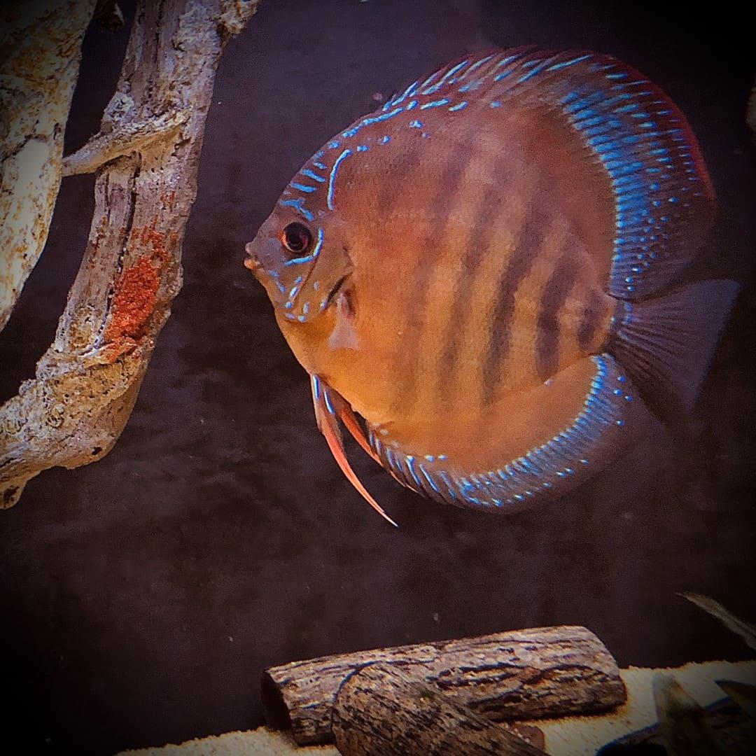 266: Die DiskusMummy und der König der Aquarienfische - Diskushaltung aus Leidenschaft (Isabelle Geil) 19