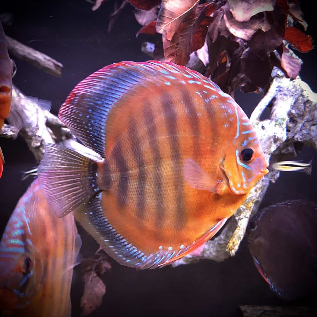 266: Die DiskusMummy und der König der Aquarienfische - Diskushaltung aus Leidenschaft (Isabelle Geil) 20