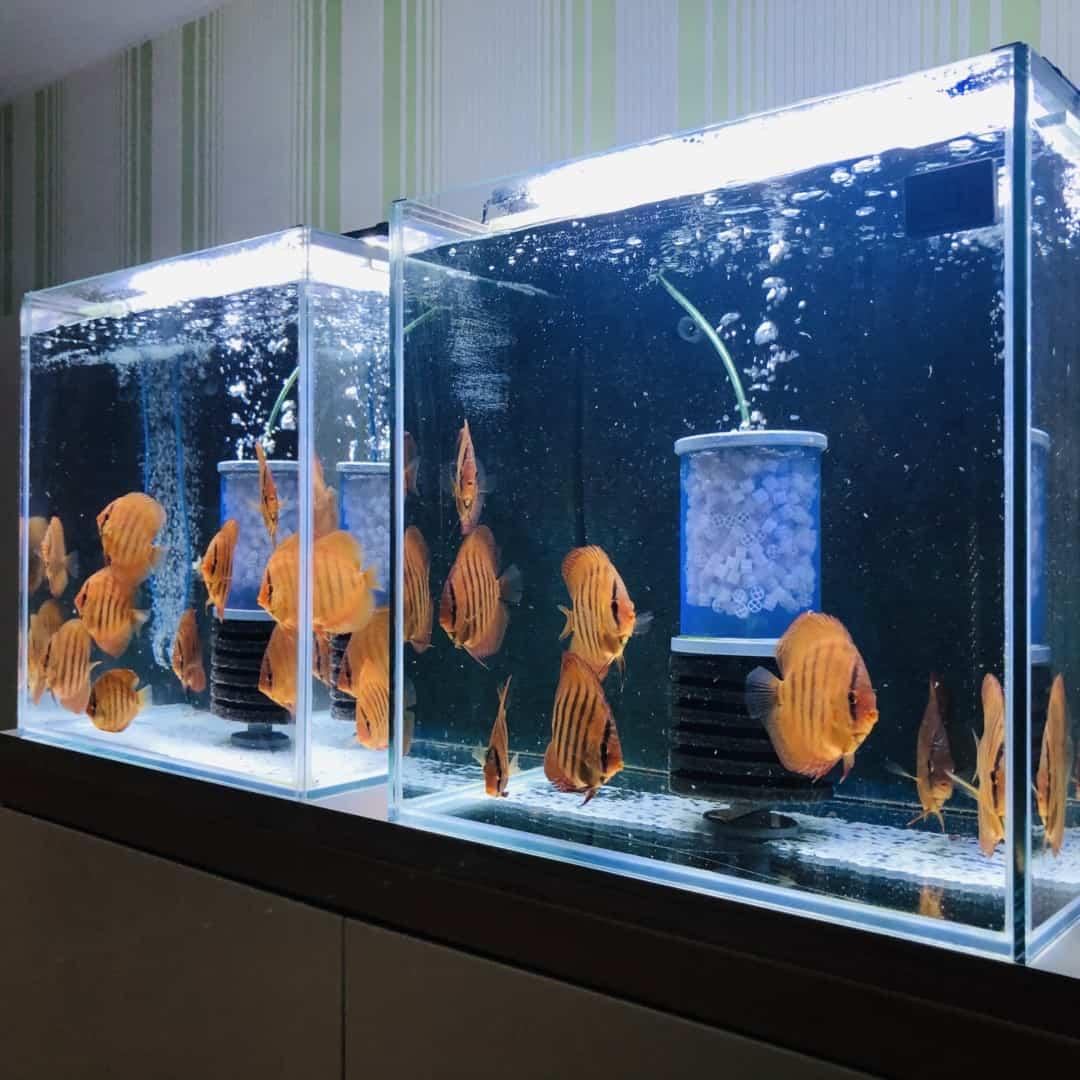 266: Die DiskusMummy und der König der Aquarienfische - Diskushaltung aus Leidenschaft (Isabelle Geil) 7