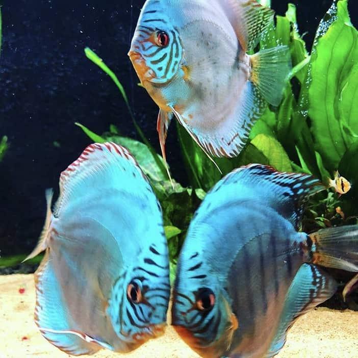 266: Die DiskusMummy und der König der Aquarienfische - Diskushaltung aus Leidenschaft (Isabelle Geil) 8