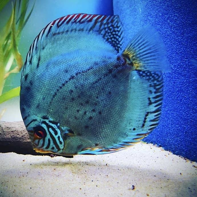 266: Die DiskusMummy und der König der Aquarienfische - Diskushaltung aus Leidenschaft (Isabelle Geil) 10