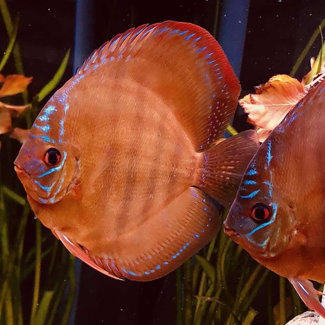 266: Die DiskusMummy und der König der Aquarienfische - Diskushaltung aus Leidenschaft (Isabelle Geil) 12