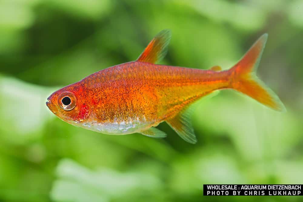 Hyphessobrycon amandae – Feuertetra