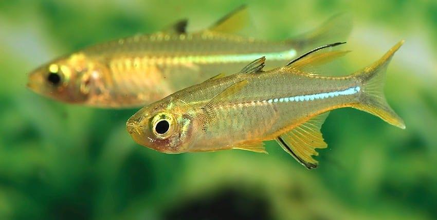 Marosatherina ladigesi