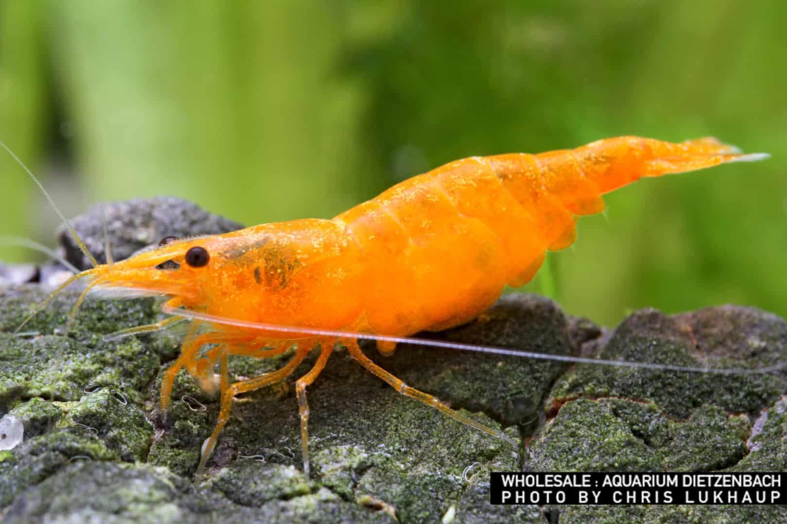 """Neocaridina davidi - """"Orange"""" Fire Zwerggarnele"""