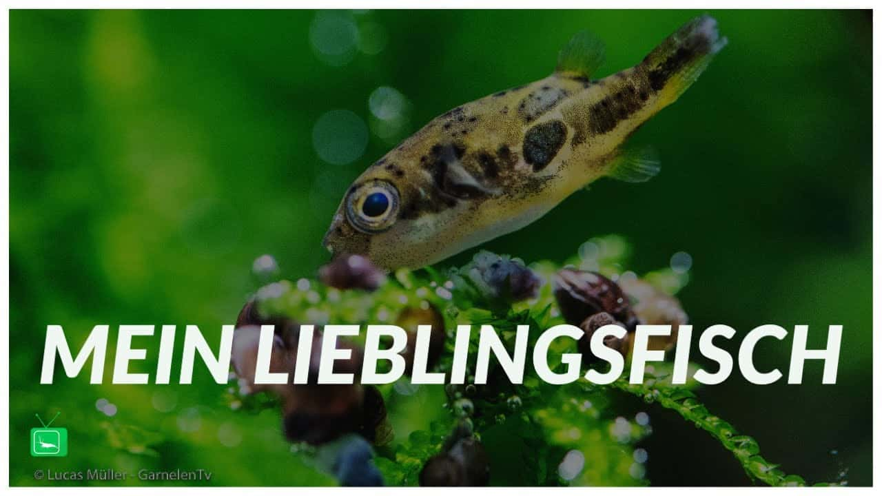 garnelentv-lieblingsfisch